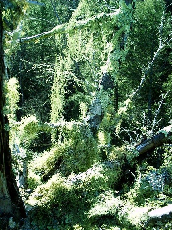 http://www.nativetreesociety.org/fieldtrips/gsmnp/will4/lichen_top_of_tree8.jpg