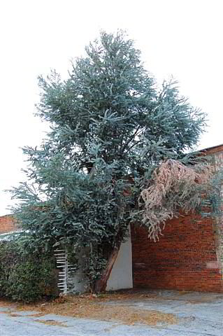 how to grow silver dollar eucalyptus from seed