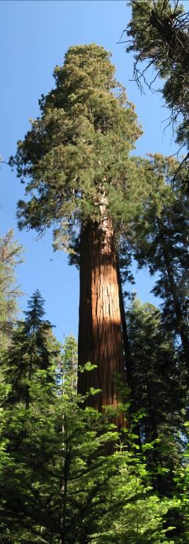 Sequoia adventures 7/2-7/9/2009 - Day 3-5- TALLEST SEQUOIA!