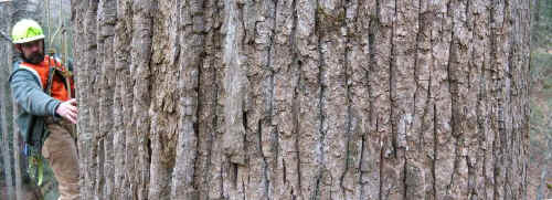 poplar branch men Poplar bark shingle siding and wall coverings  pole, branch and twig panels   makes a claim upon men's hearts, as for that subtle something, that quality of.